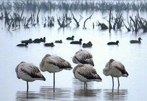 علت مرگ دستهجمعی پرندگان مهاجر در مازندران