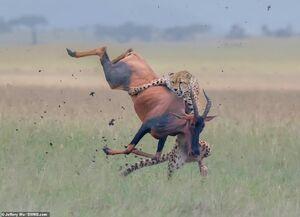 عکس/ لحظه دیدنی شکار توسط یوزپلنگ