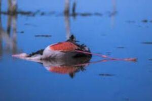 ماجرای مرگ مشکوک پرندگان در تالاب میانکاله چه بود؟