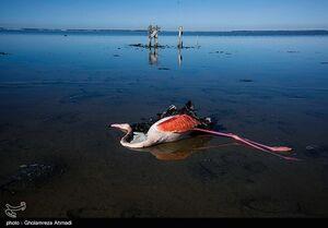 عکس/ مرگ پرندگان در تالاب میانکاله