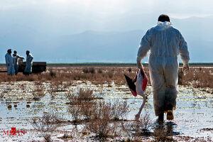 تراژدی پرندههای مهاجر در میانکاله