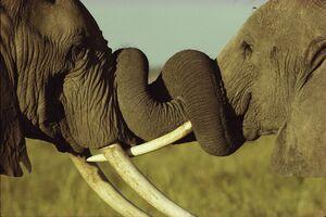 شاخ به شاخ شدن دو فیل در کنیا