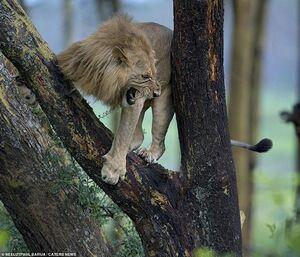 عکس/ سلطان جنگل فرار کرد