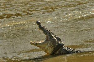 تمساح گرفتار در لاستیک