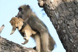 عکس/ میمون بچه دزد