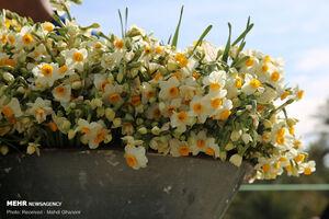عکس/ آخرین روزهای برداشت گل نرگس