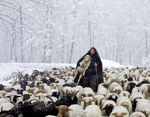 گوسفندان در برف