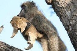 اقدام باورنکردنی میمون پس از دزدیدن توله شیر! +فیلم