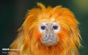 عکس/ گونههای عجیب میمونها