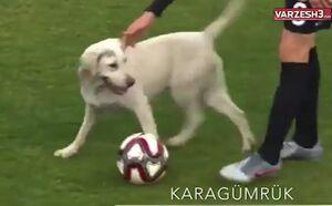 فیلم/ سگ بازیگوش بازی فوتبال را متوقف کرد