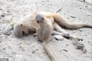 گریه بچه میمون بالا سر جنازه مادرش +عکس و فیلم