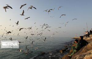 عکس/ پرندگان دریایی در آسمان سواحل بوشهر