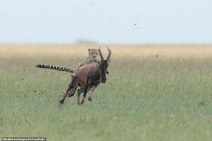 حمله یوزپلنگ به آنتلوپ!