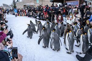 عکس/ رژه پنگوئنها در باغ وحش