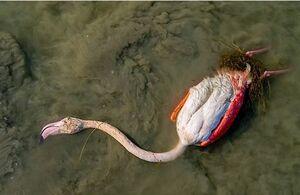 کشف راز مرگ مشکوک ۲۰ هزار پرنده مهاجر در میانکاله