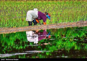 وزارت جهاد کشاورزی: ۴.۴ میلیون تن برنج داریم، کمبودی در کار نیست