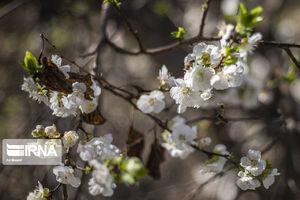 قاتل زیبای شکوفههای بهاری در البرز +عکس