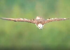 فیلم/ صحنه آهستهای از شکار فوقالعاده ماهی توسط عقاب