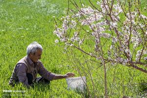 عکس/ باز شدن شکوفههای زیبای بهاری