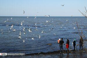 عکس/ میهمانان هر ساله سواحل خزر