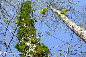 جنگل مازندران در «آستانه بهار»