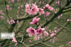 شکوفه های زیبای درختان در آستانه بهار