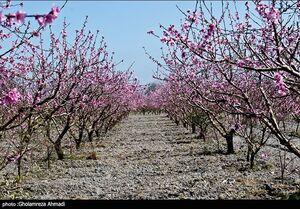 عکس/ شکوفههای بهاری در ساری