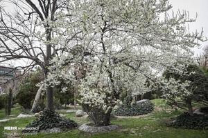 عکس/ شکوفههای بهاری در تهران