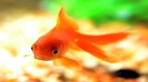 ماهی قرمز میتواند ناقل ویروس کرونا باشد؟