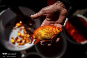 توصیههای دامپزشکی برای خرید ماهی قرمز