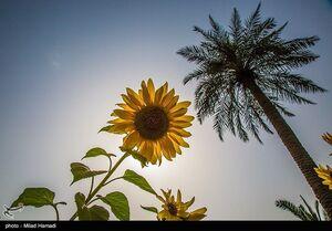 عکس/ گردش گلهای آفتابگردان به سمت آفتاب