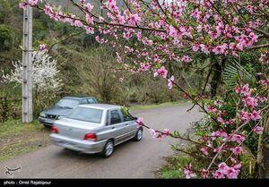تصاویر زیبا از شکوفههای بهاری گیلان