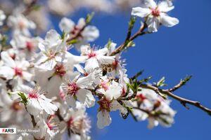 عکس/ شکوفهها خبر از بهار میدهند