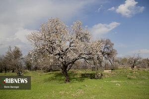 عکس/ باغستان بهاری قزوین