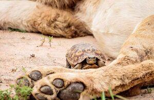 عکس/ لاکپشت شجاع