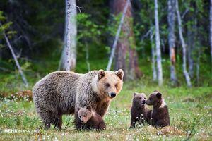 واکنش خرس قهوهای مادر و توله در مواجهه با مَرال +فیلم