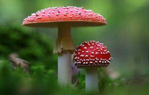 مراقب قارچهای سمی باشید
