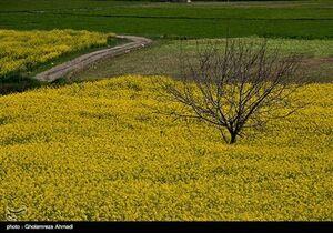 پوشش زرد دشتهای مازندران