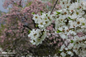 شکوفههای بهاری در قم
