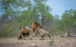 تصاویر دیدنی از نبرد شیرها
