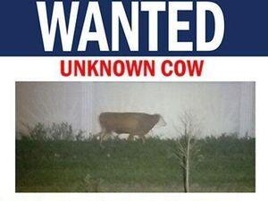 پلیس آمریکا یک «گاو» را تحت تعقیب قرار داد! +عکس