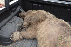 شکارچی خرس در ارومیه شناسایی و دستگیر شد