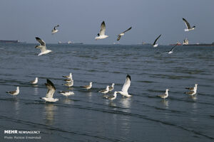 عکس/ مرغان ماهی خوار سواحل بندرعباس