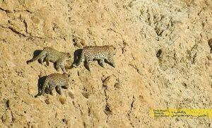 عکس/ تصویر باشکوه از پلنگ مادر و تولهها
