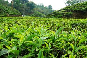 اعلام نرخ خرید چای و برخی اقلام کشاورزی