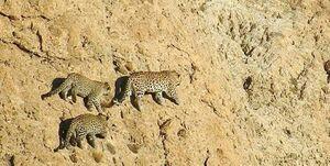 تصویری زیبا از ماده پلنگ ایرانی با دو تولهاش