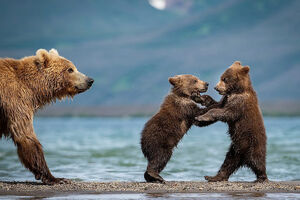 عکس/ ماهیگیری دیدنی دو بچه خرس