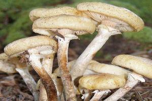 هشدار سازمان غذا و دارو درباره مسمومیت با قارچ