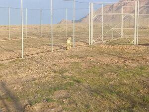 فیلم/ لحظه رهاسازی ماده یوزپلنگ ایرانی