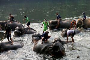 عکس/ شستشوی فیلها در روزهای کرونایی